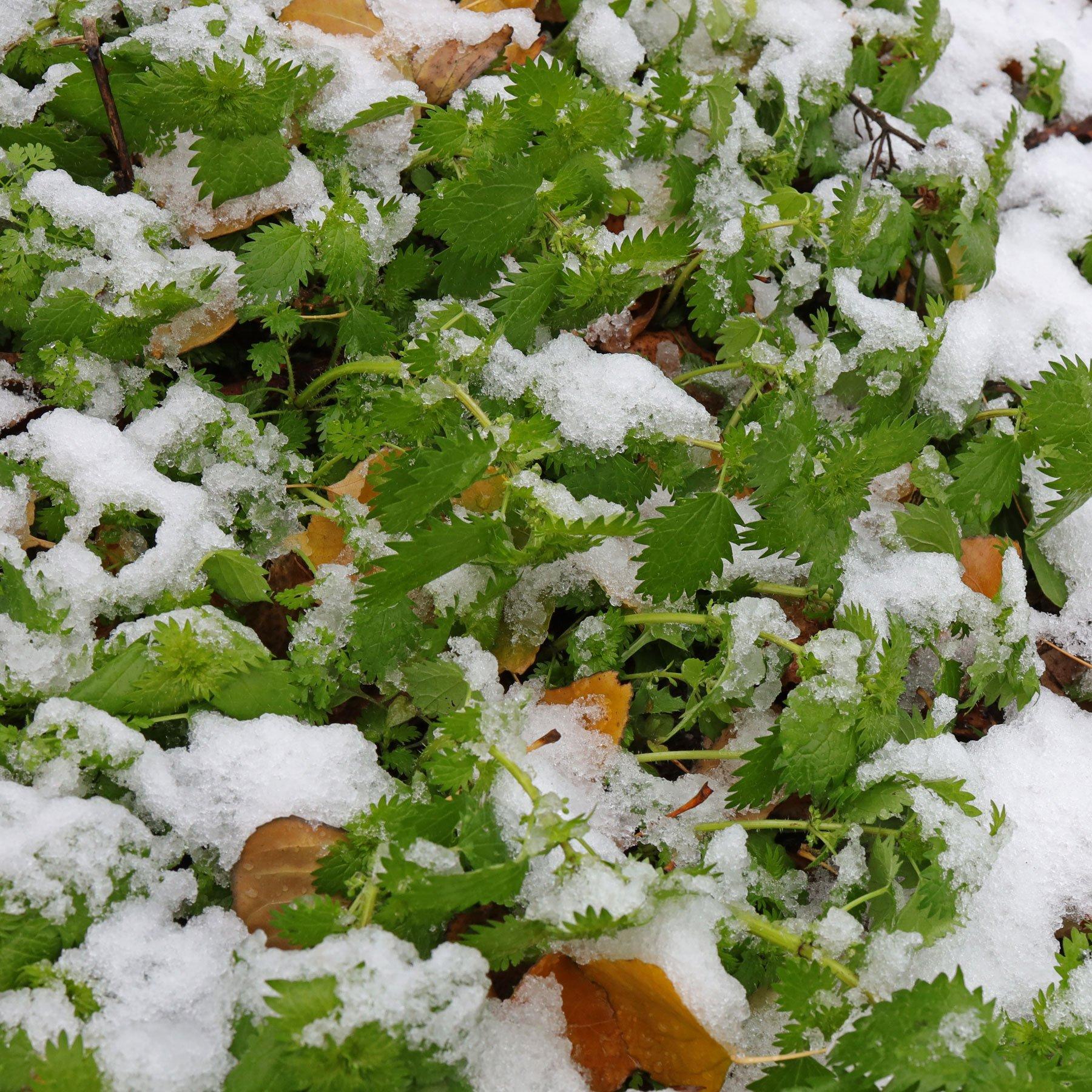 Kleine Brennnessel im Schnee