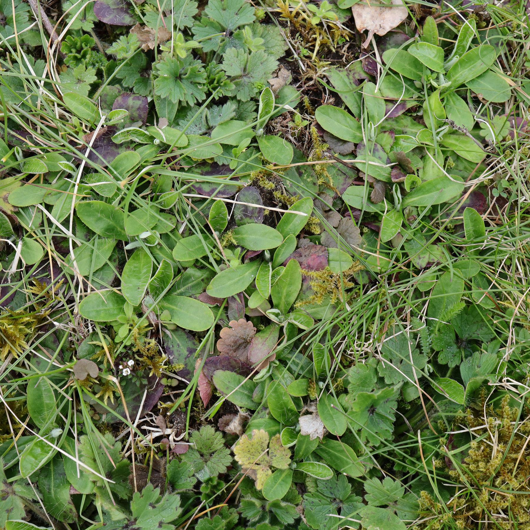 Kleines Habichtskraut im-Rasen
