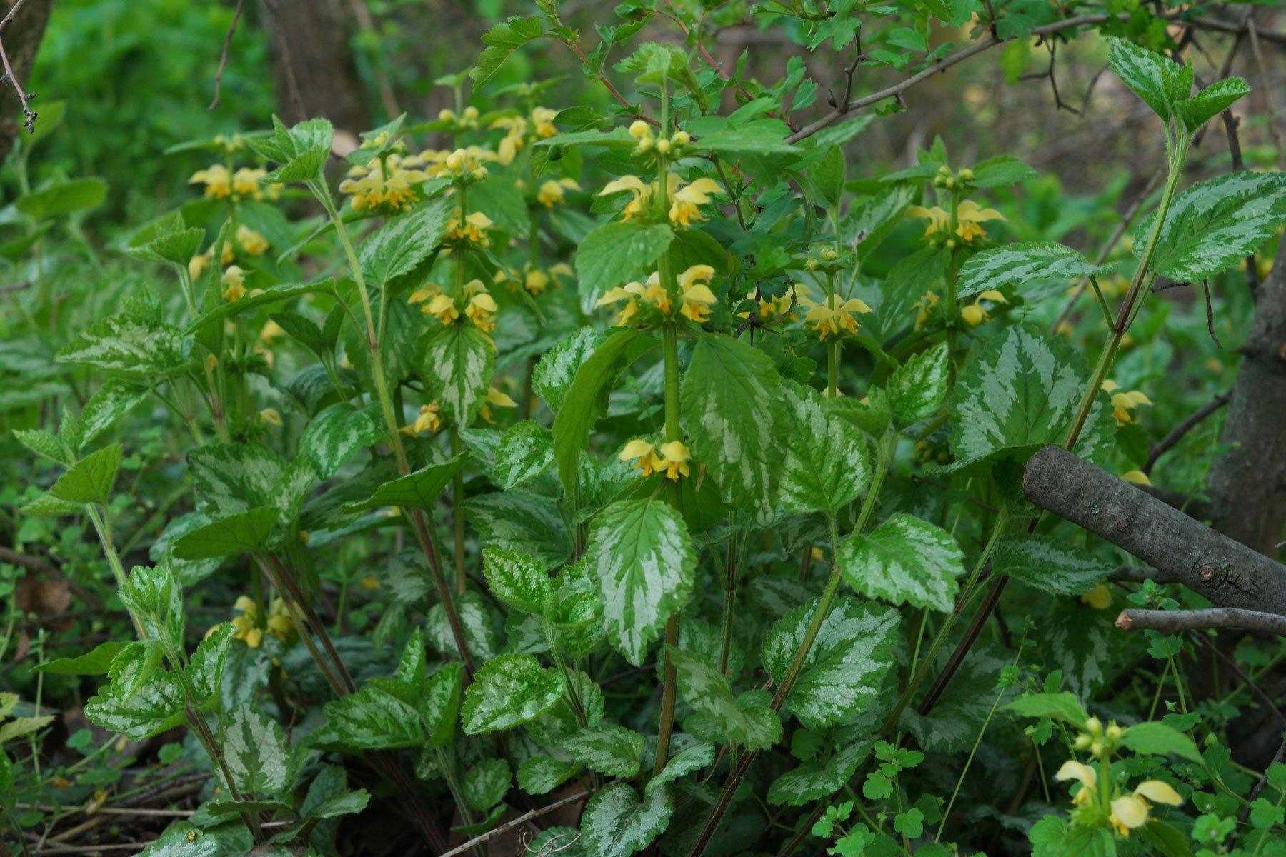 Lamium galeobdolon ssp. argentatum