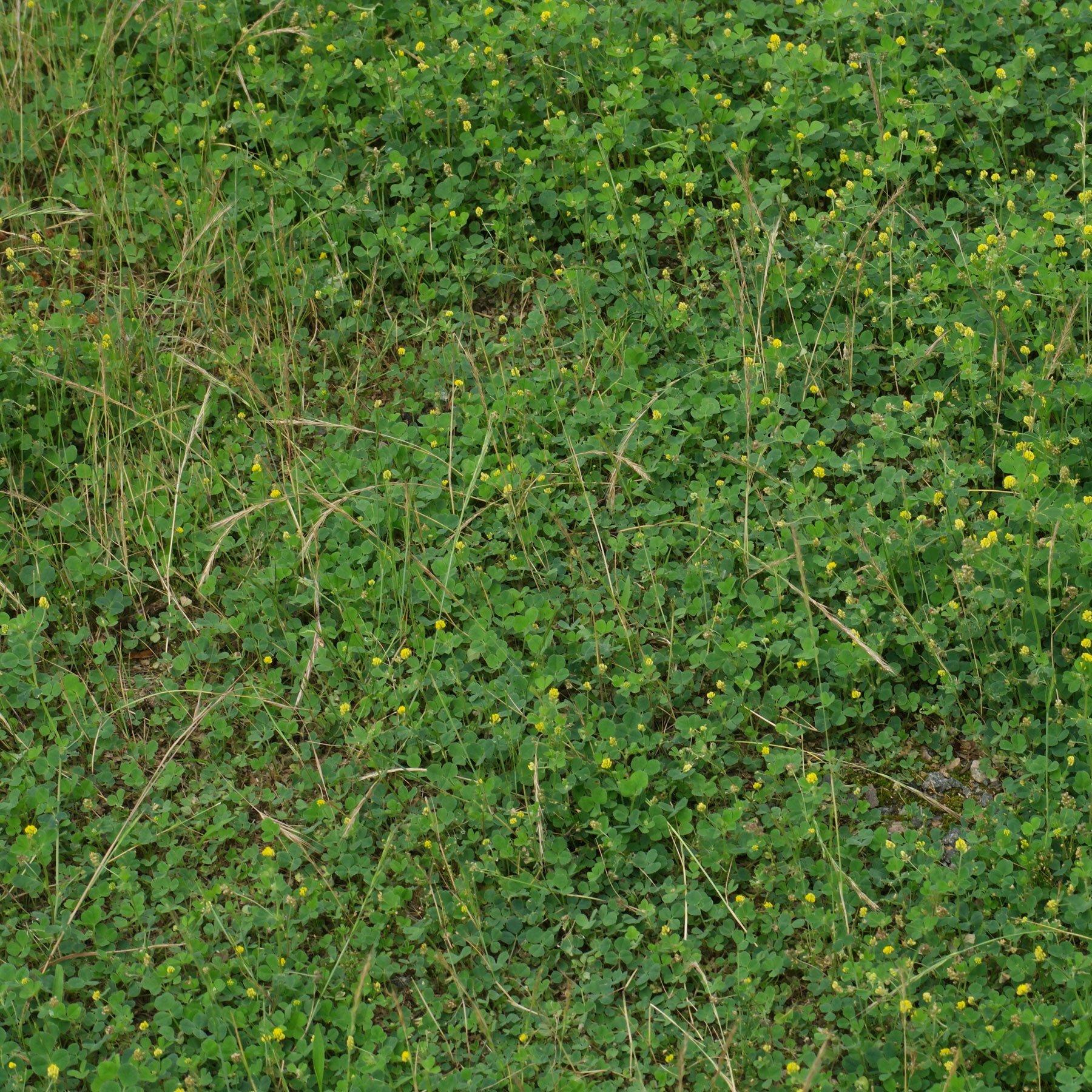 Schneckenklee im Rasen