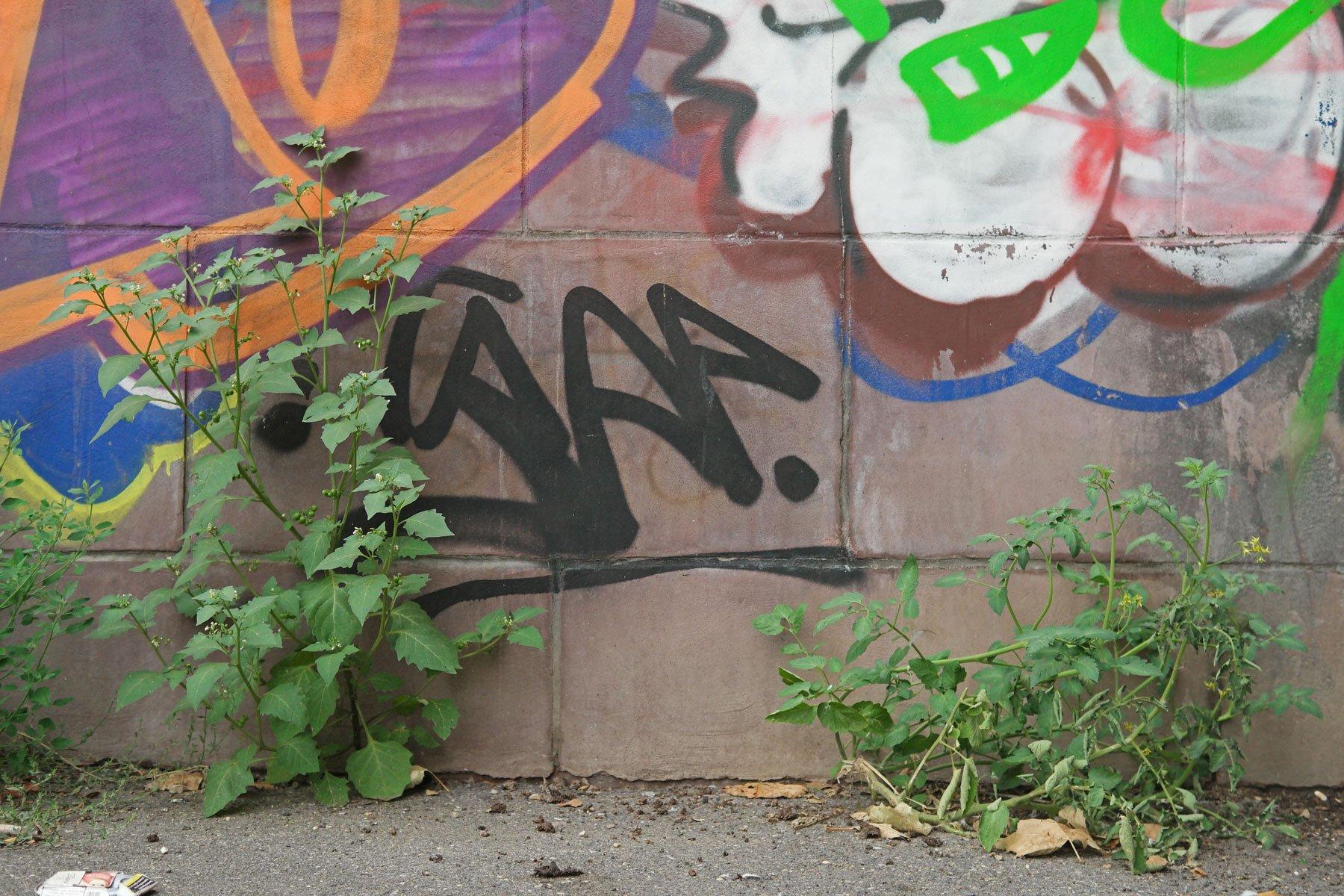 Schwarzer Nachtschatten und Tomatenpflanze