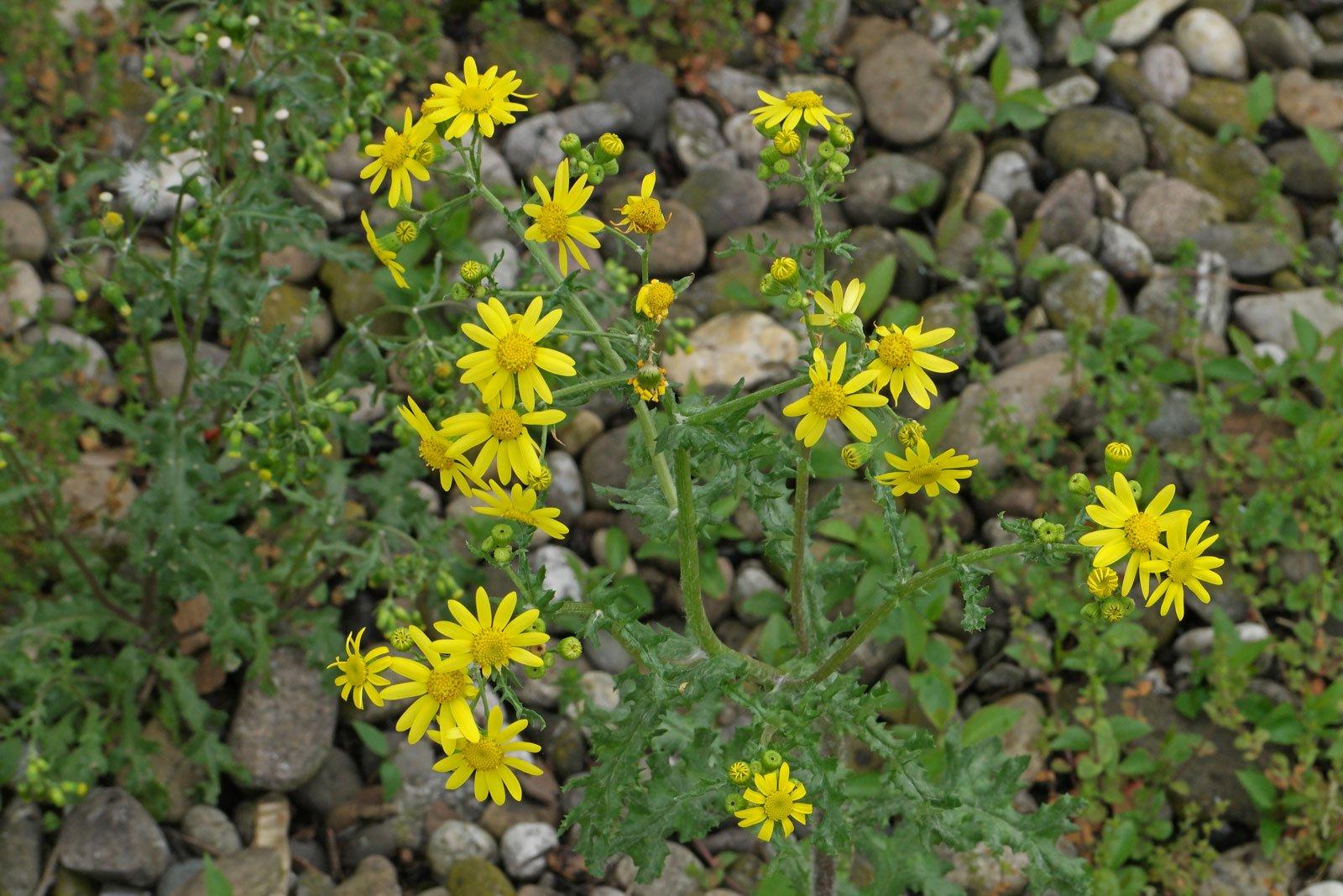 Senecio leucanthemifolius ssp vernalis 2