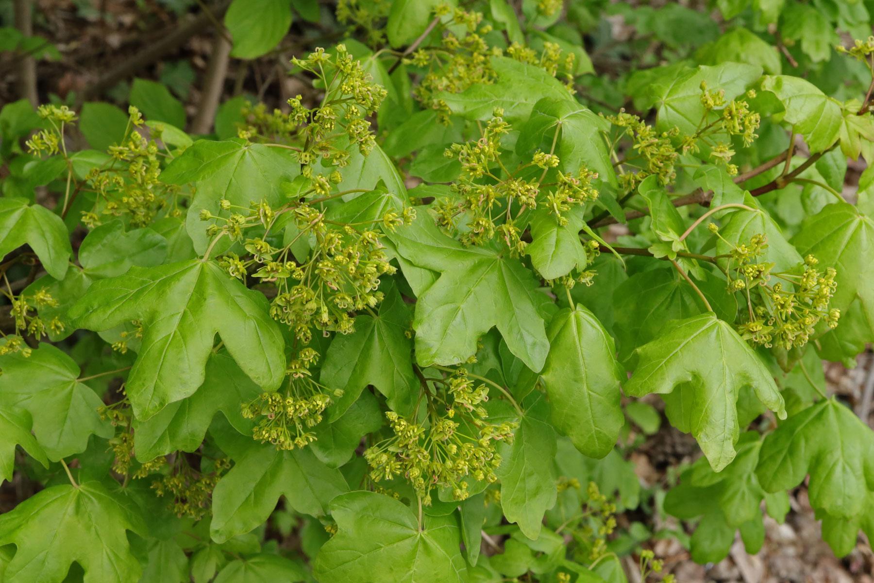 Acer cempestre