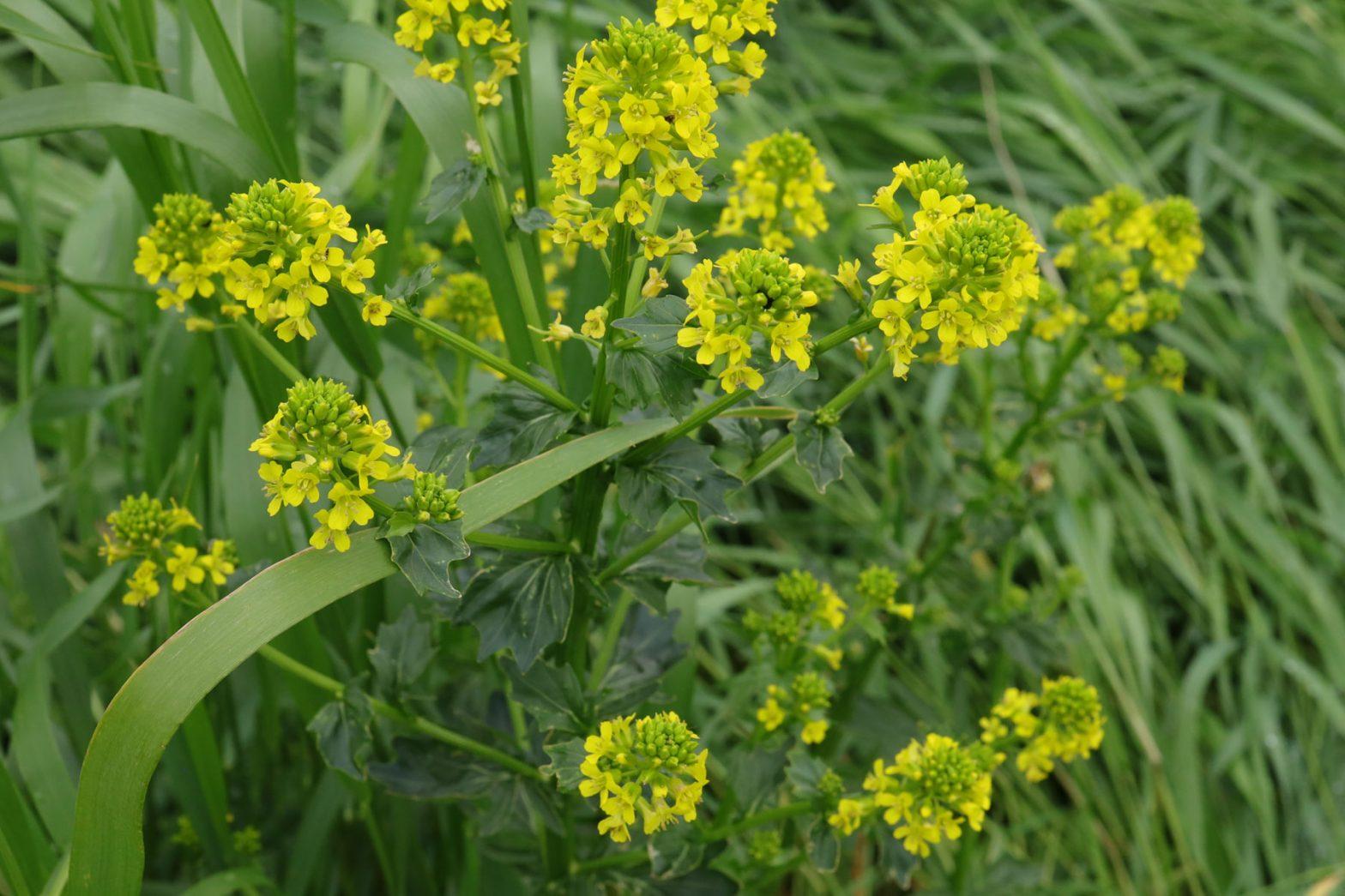 Barbarakraut Barbarea vulgaris