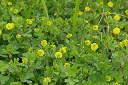 Feld Klee Trifolium campestre
