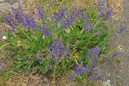 Salvia pratensis Wiesen-Salbei