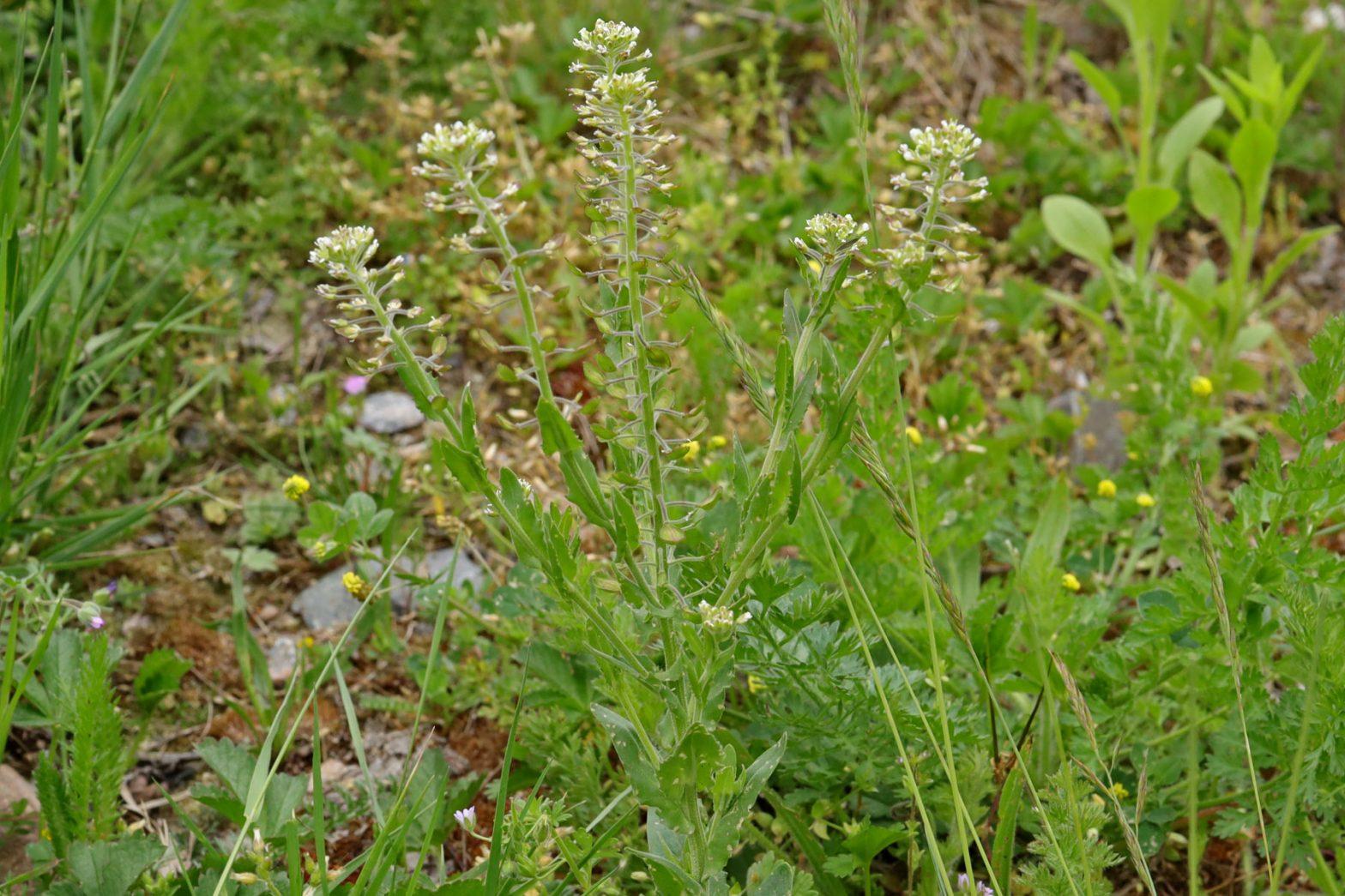 Feld-Kresse Lepidium campestre