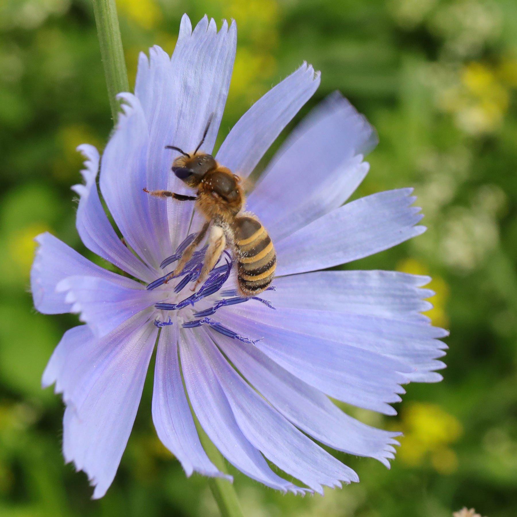 Hosenbiene auf Wegwarte