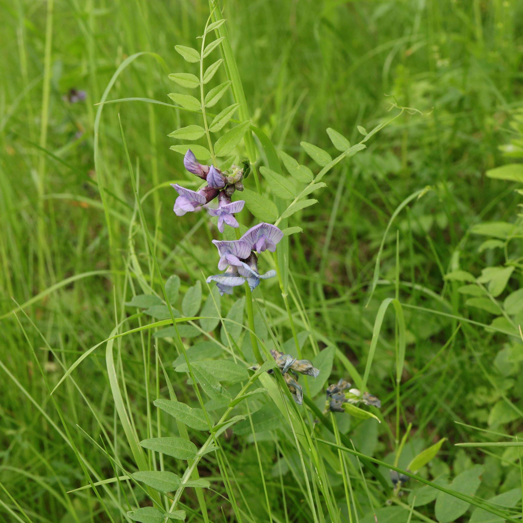 Vicia sepium