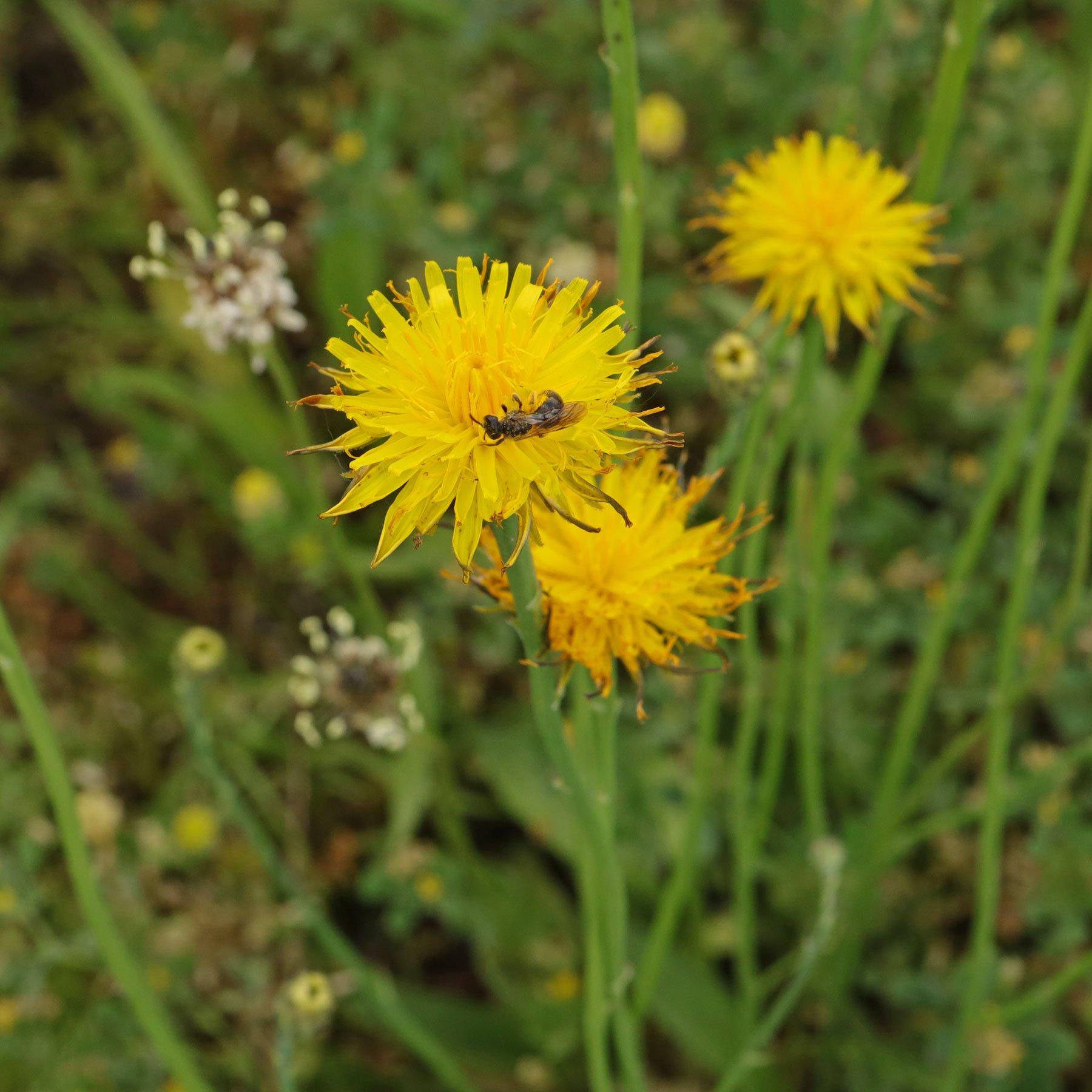 Wildbiene auf Ferkelkraut