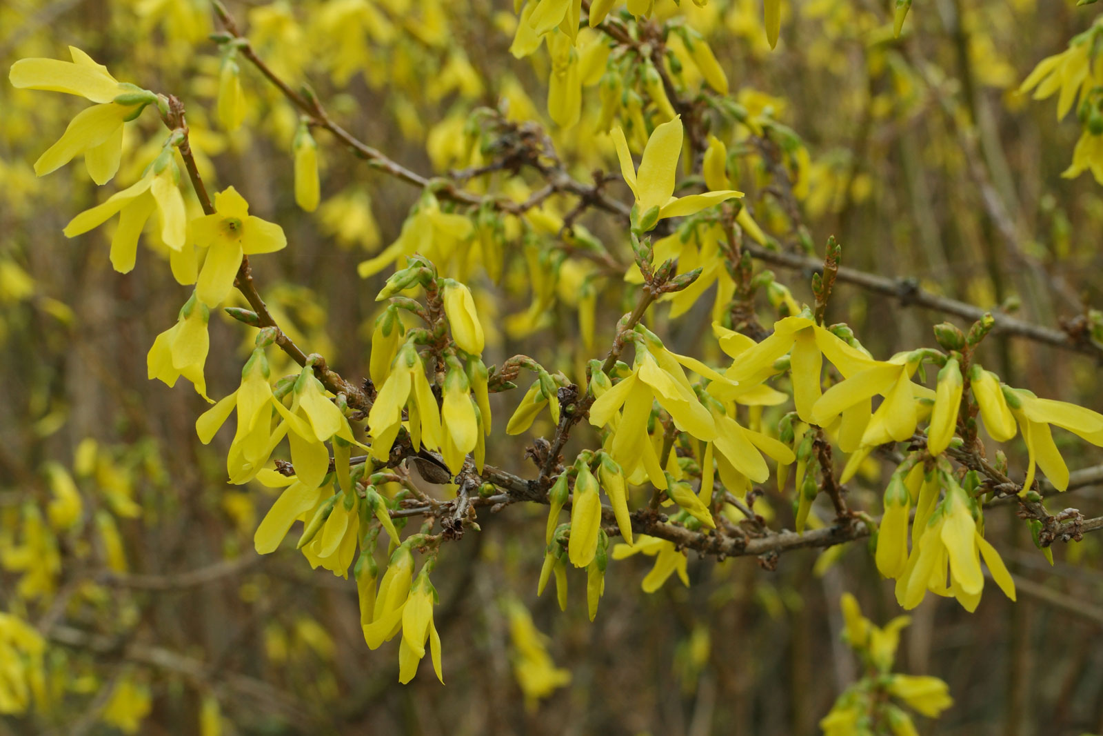 Forsythia intermedia